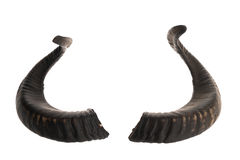 Pair of black ram horns Stock Images