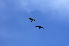 Pair of Black Ravens on Blue Sky Stock Photography