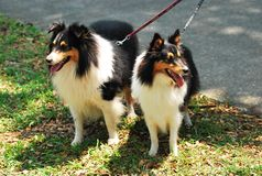 A pair of black rough collie dogs on leash Stock Photography
