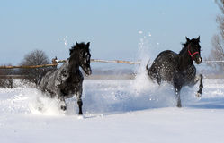 A pair of black stallion Stock Image