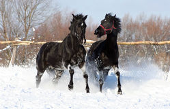 A pair of black stallion. Two horses at liberty, beautiful animals, galloping horse on the white snow, thoroughbred horses Stock Images