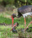 Pair of black storks Stock Images