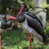 Pair of black storks Stock Photos