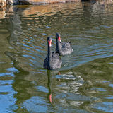 Pair of black swan swimming in the pond Royalty Free Stock Photography
