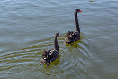 Pair of black swan swimming in the pond Stock Image