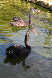 Pair of black swans Stock Images