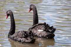 Pair of black swans, Cygnus atratus swimming in the pond, lake. Australian wildlife background stock photo