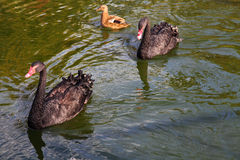 Pair of black swans and duck Stock Photo