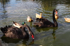 Pair of black swans and ducks Royalty Free Stock Images