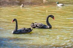 Pair of black swans and ducks swimming in pond. Pair of black swans and ducks swimming in green water of sity pond stock photography