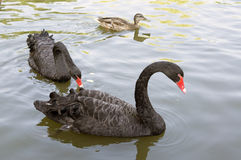 A pair of black swans feeding Royalty Free Stock Image