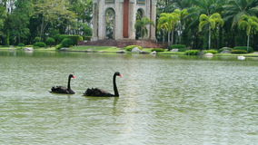 Pair of black swans foraging in the lake,full HD. stock video footage