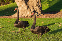 Pair of black swans standing on lawn Stock Images