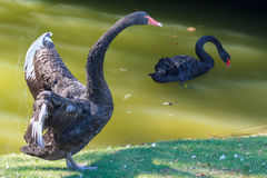 Pair of black swans swimming in a city pond Royalty Free Stock Photography