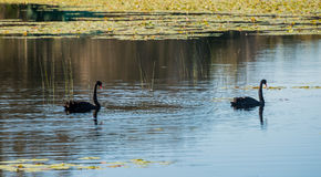 Pair of black swans Stock Photography