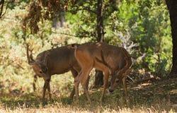 Pair of Black-tailed bucks Stock Photos