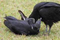 Pair of Black Vultures Royalty Free Stock Image