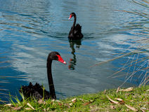 Pair black West Australian swans on river. Two black swans swimming on river in Western Australia Royalty Free Stock Image