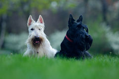 Pair of black and white dog, beautiful scottish terrier, sitting on green grass lawn, flower forest Royalty Free Stock Image