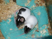 Pair of Black and White Mices Royalty Free Stock Photography