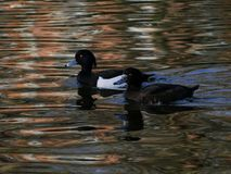 A pair of black and white tufted ducks / Aythya Fuligula swimming together on a pond. A pair of black and white tufted ducks / Aythya Fuligula swimming together stock images