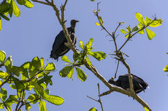 Pair of blacks vultures. In Paraty in Brazil Stock Photos