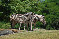 Zebras eating side by side Stock Image