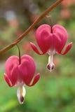 Pair of Bleeding Heat flowers Royalty Free Stock Photography