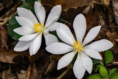 A Pair Bloodroot Flowers. A pair of Bloodroot flowers in the forest of the Blue Ridge Mounts of the Southeast United States stock photos