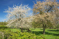 Pair of blossoming pear trees Stock Photos