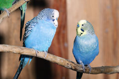Pair of blue budgerigars Stock Photo