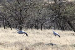 Pair of blue crane birds courting on South African bushfeld. Profile of pair of mating blue crane birds performing courting dance on South African bushveld royalty free stock photo