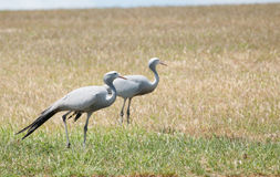 Pair of blue cranes Royalty Free Stock Photos