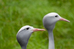 Pair of Blue Cranes Stock Photo