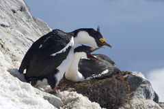 Pair of blue-eyed Antarctic cormorant on the nest on a hillside Stock Photo
