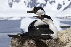 Pair of blue-eyed Antarctic shags sitting Royalty Free Stock Photography