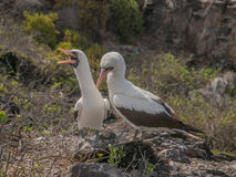 Pair of Blue Footed Boobies Royalty Free Stock Image