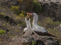 Pair of Blue Footed Boobies Royalty Free Stock Images