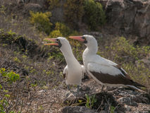 Pair of Blue Footed Boobies Stock Photography