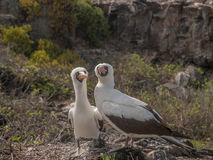 Pair of Blue Footed Boobies Royalty Free Stock Photos