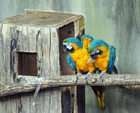 Pair of Blue and Gold Macaws Royalty Free Stock Image