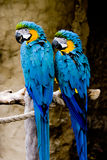 Pair of Blue and Gold Macaws. Two beautiful Blue & Gold Macaws perched side by side stock photo