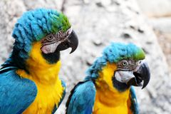 Pair of blue-and-gold macaws perching together. stock images