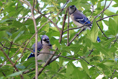Pair of Blue Jays Stock Image