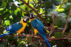 Pair of Blue Macaw Parrots Stock Images