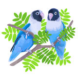 Pair of blue masked lovebirds Royalty Free Stock Images