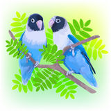 Pair of blue masked lovebirds Stock Photography