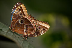 A pair of Blue Morpho butterflys. A pair of Blue Morpho butterfly resting on a leaf mating Stock Images