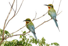 A pair of blue tailed bee eater Stock Images