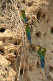 Pair of blue Tailed Bee Eater Stock Image